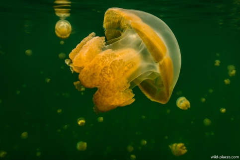 Jelly Fish Lake, Palau