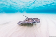 Stingray, Cayman Islands