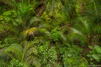 Kauri Gorge, 309 Road, Coromandel Peninsula, North Island, New Zealand