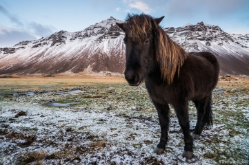 Icelandic horse near Höfn