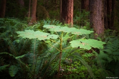 Quinault Rainforest, Olympic NP, WA, USA