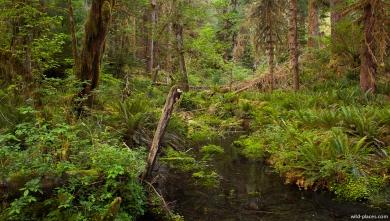 Hoh Rainforest, Olympic NP, WA, USA