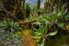 Trail from Scott Elliot Pass to the Kitandara Hut, Rwenzori, Uganda