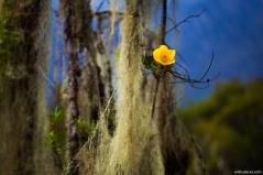 Flower at Rwenzori Mountains, Uganda