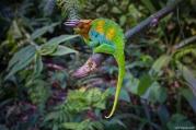 Chameleon, Rwenzori, Uganda