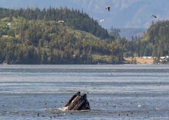 Humpback Whale, Telegraph Cove, Vancouver Island, BC, Canada
