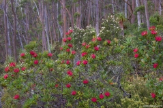 Tasmian Waratah, Pandani Grove Nature Walk, Mt Field NP