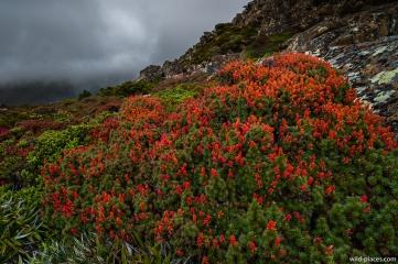 Richea scoparia, K-Col, Rodway Range, Mt Field NP