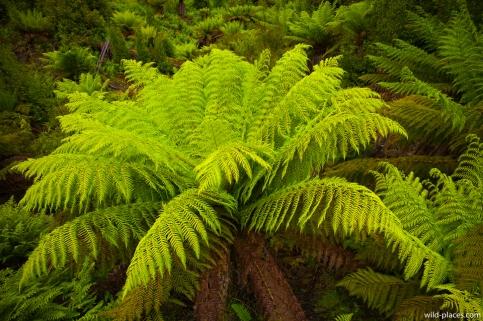 Ferns in the Styx Valley