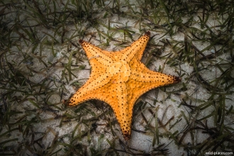 Starfish, Cayman Islands