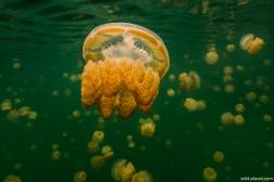 Jelly Fish Lake, Palau