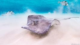 Stingray, Cayman Islands