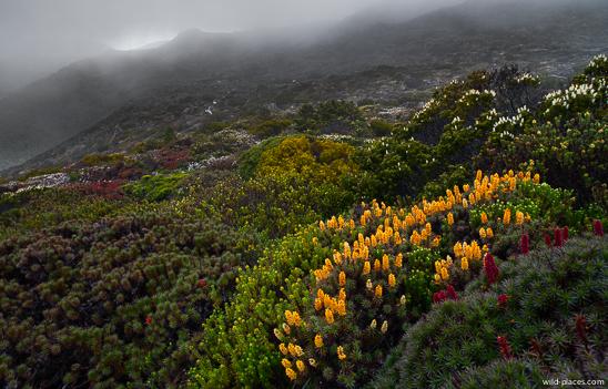 Richea scoparia, Mt Field NP, K-Col, Rodway Range, Tasmania