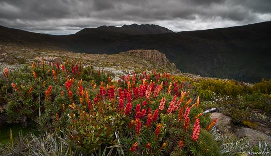 Richea scoparia, Mt Field NP, Newdegate Pass, Tasmania