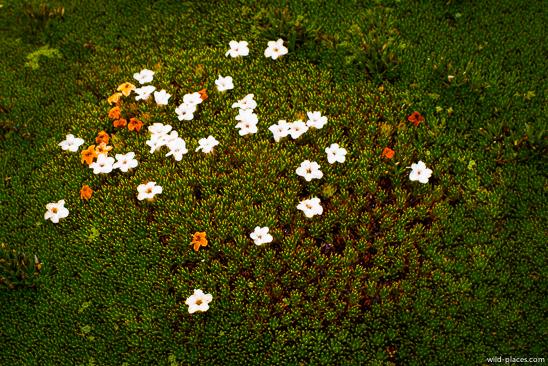 Cushion Plant, Mt Field NP, Newdegate Pass, Tasmania