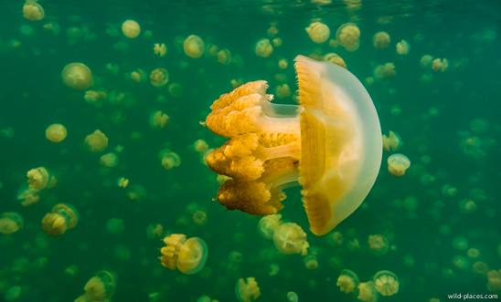 Jellyfish Lake, Palau