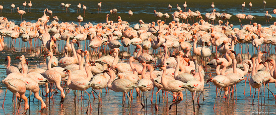 Flamingo colony, Walvis Bay