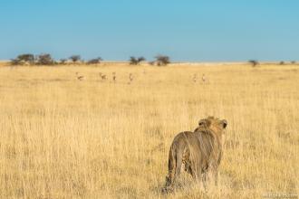Lion, Etosha National Park, Namibia
