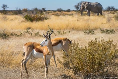 Springbock, Etosha National Park, Namibia