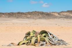 Welwitschia mirabilis, Welwitschia Trail, Swakopmund, Namibia