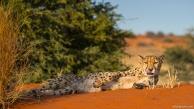 Cheetah, Bagatelle Kalahari Game Ranch, Namibia