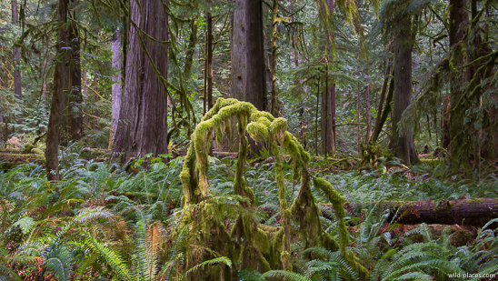 Cathedral Grove, MacMillan Provincial Park, Vancouver Island, BC, Canada